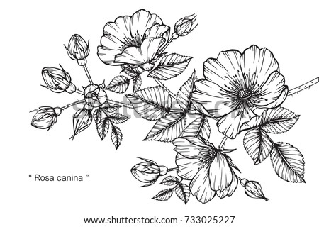 Hand drawing and sketch Rosa canina flower. Black and white with line art illustration. #733025227