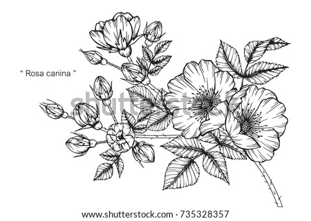 Hand drawing and sketch Rosa canina flower. Black and white with line art illustration. #735328357
