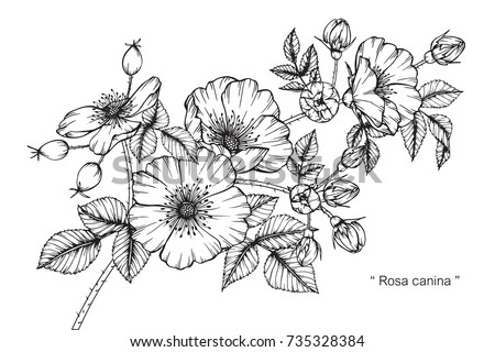Hand drawing and sketch Rosa canina flower. Black and white with line art illustration. #735328384