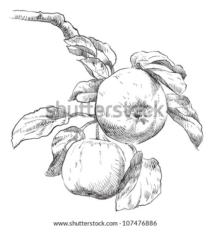 Hand drawing apples on apple tree branch