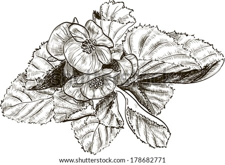 Hand drawing begonia flower  #178682771