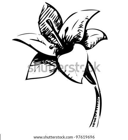 Hand drawing lily flower. Sketch vector illustration