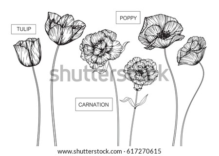 hand drawing poppy  tulip and