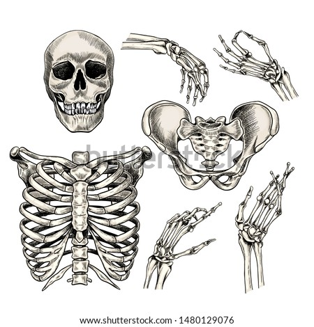 Hand drawn anatomy set. Vector human body parts, bones. Skull, hands, rib cage or chest, pelvic bones. Vintage medicinal illustration. Use for Haloween poster, medical atlas, science realistic image