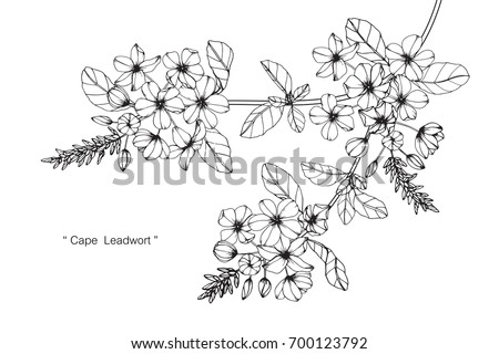 Hand drawn and sketch Cape Lead wort flower. Black and white with line art illustration. #700123792