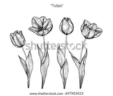 Hand drawn and sketch Tulips flower. Black and white with line art illustration.