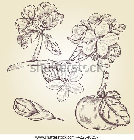 Hand drawn blossom apple tree branch, bud, and apple fruit. Apple tree branch vector. Apple fruit, apple flower and apple branch. Fruit garden vector elements.  #422540257