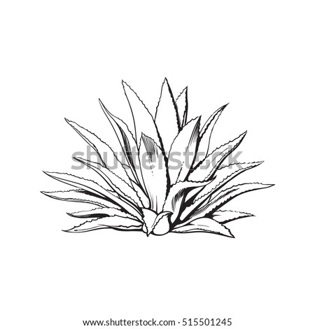 hand drawn blue agave  main