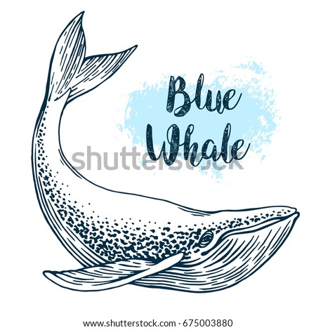 hand drawn blue whale vector