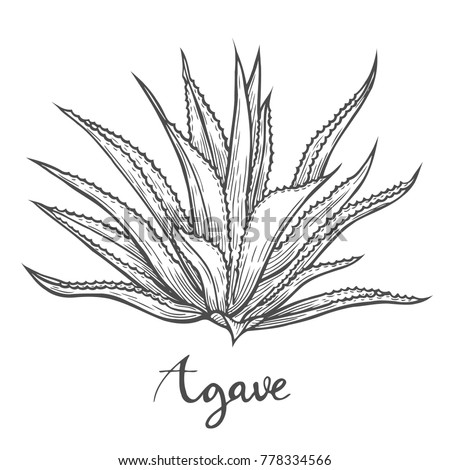 Hand drawn Cactus blue agave. plant illustration on white background. Ingredient for traditional medicine, treatment, body care, cooking or gardening. Succulent. Engraving style.
