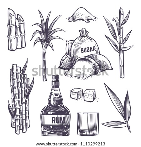Hand drawn cane leaves, sugar plant stalks, sugarcane farm harvest, glass and bottle of rum. Vector set in vintage engraving style. Illustration of alcohol drink and sugarcane