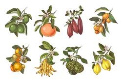 Hand drawn citrus plants branches with flowers and ripe fruits. Vector illustration in retro style. 8 plants - lime, grapefruit, finger lime, cumquat, tangerine, citron Buddah s hand, bergamot, lemon.