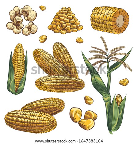 Hand drawn corn. Cereal maize plants, sweet corn cob and grains vegetarian food, design for fast food packaging, menu poster, banner sketch isolated vector set Сток-фото ©