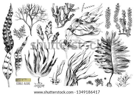 Hand drawn edible algae set. 13 different plants. Vector illustration