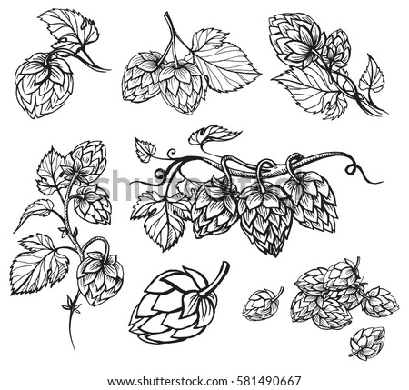 Shutterstock Hand drawn engraving style Hops set. Common hop or Humulus lupulus branch with leaves and cones. Vector illustration