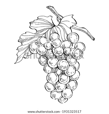 Hand drawn grapes sketch. Wine vine close up outline, leaves, berries.  Black and white clip art isolated on white background. Antique vintage engraving illustration for design wine.