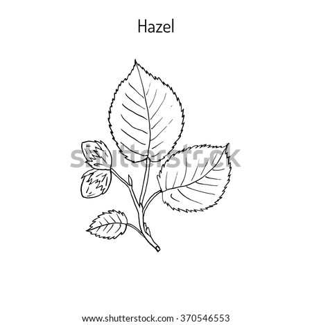 hand drawn hazelnut branch