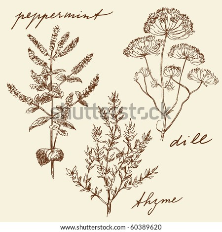hand drawn herbs - stock vector