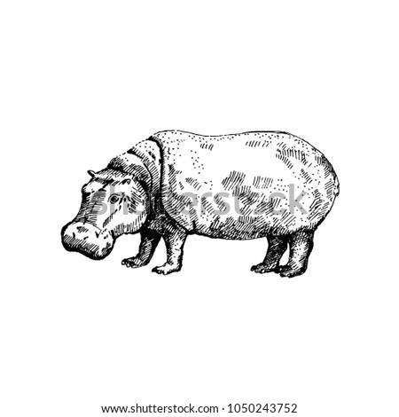 Hand drawn hippo ( hippopotamus, behemoth ). Sketch, vector illustration.