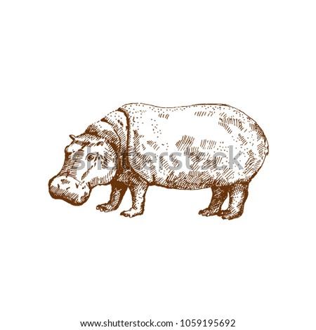 Hand drawn hippo ( hippopotamus) . Sketch, vector illustration.