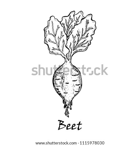 Hand drawn illustration of a beet with  leaves, isolated on white background in vector.