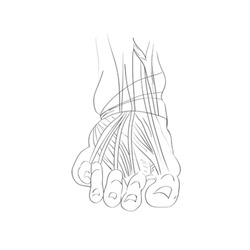 Hand drawn illustration of the foot muscles isolated on white, artistic anatomy graphic study