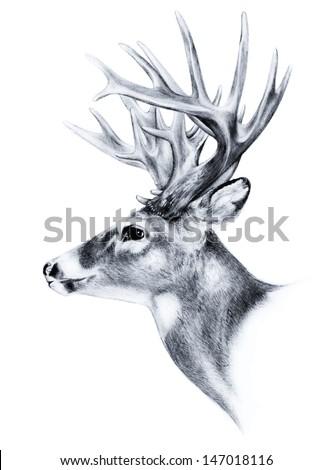 hand drawn image of big white