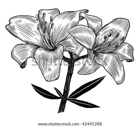 Hand drawn lily. Vector illustration.