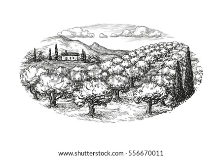 hand drawn olive grove