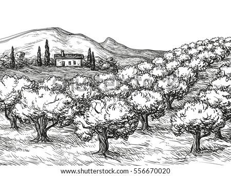 hand drawn olive grove...