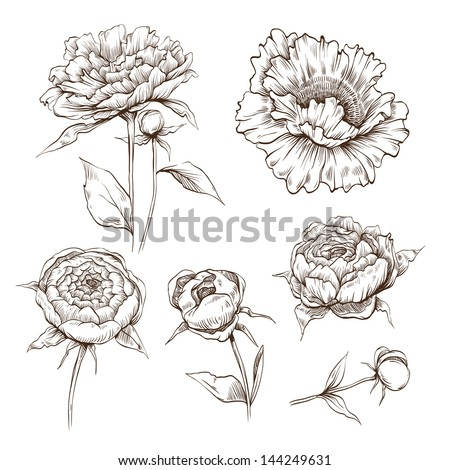 hand drawn peony flowers vector