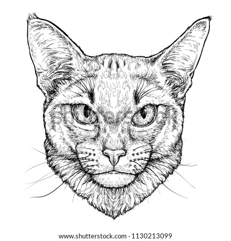 Hand drawn portrait of Abyssinian Cat.  Vector illustration isolated on white
