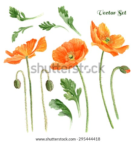 Hand drawn romantic watercolor Poppies, high quality botanical illustration. Elements for design of greeting cards, invitations / Vector Illustration