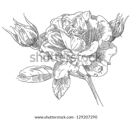 Hand drawn rose flowers