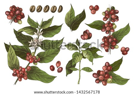 Hand drawn set of colorful coffee tree branches and beans. Vector illustration in vintage style