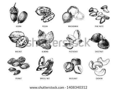 Hand drawn set of edible nuts - acorn, pecan, macadamia, pine nuts, walnut, almond, pistachio, chestnut, peanut, brazil nut, hazelnut and cashew. Vector illustration