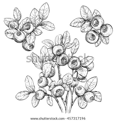 Hand drawn set with bilberries.Forest berry. Eco food vector illustration Isolated on white