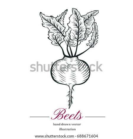Hand drawn sketch beets sketch. Vector organic food illustration isolated on white background.