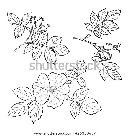 hand drawn sketch dog rose