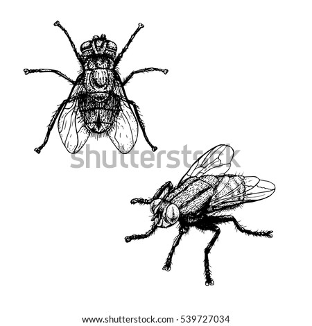 Hand drawn sketch of fly. Retro realistic animal isolated. Vintage style. Doodle line graphic design. Black and white drawing insect. Vector illustration.