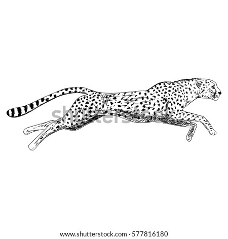 Hand drawn sketch of running cheetah. Retro realistic isolated animal. Vintage style. Doodle line graphic design. Black and white drawing mammal. Vector illustration.