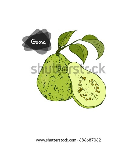 Hand drawn sketch style guava with leaves and half guava on white background. Color illustration.