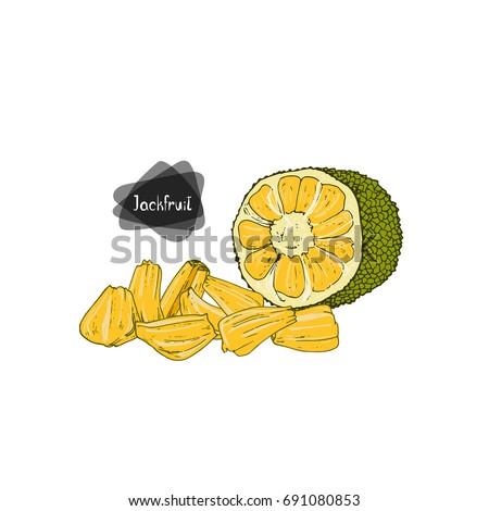 Hand drawn sketch style half jackfruit and sliced jackfruit on white background. Color illustration.