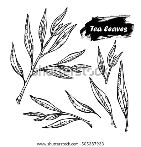 Hand Drawn Sketch Style Illustration Collection Of Tea Tree Cosmetic And Medicinal Plant
