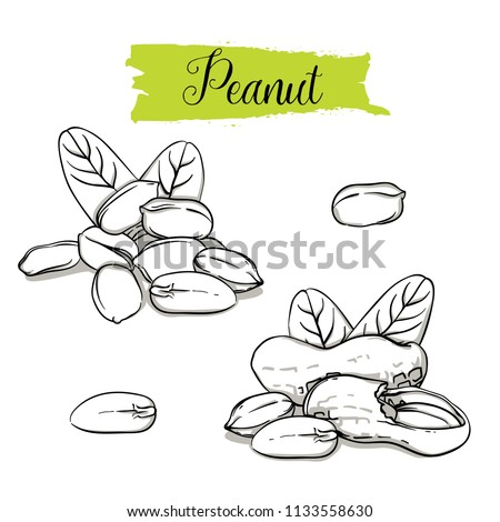 hand drawn sketch style peanut