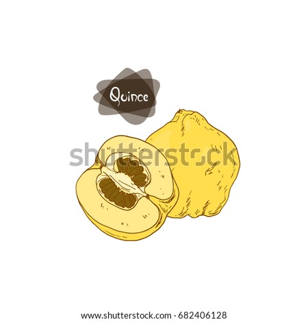 Hand drawn sketch style quince and half quince on white background. Color illustration.