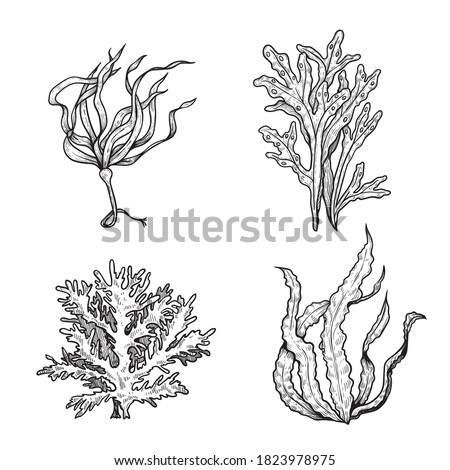 Hand drawn sketch style seaweeds set. Underwater black and white plants. Ink style drawings. Vector illustrations isolated on white background.