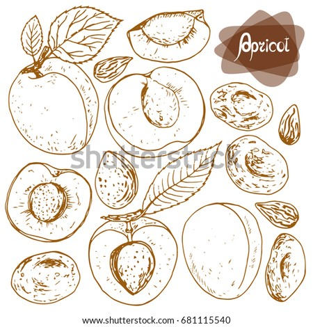 Hand drawn sketch style set of apricots on white background. Vector illustration.