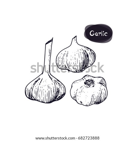Hand drawn sketch style three of garlic on white background. Vector illustration.