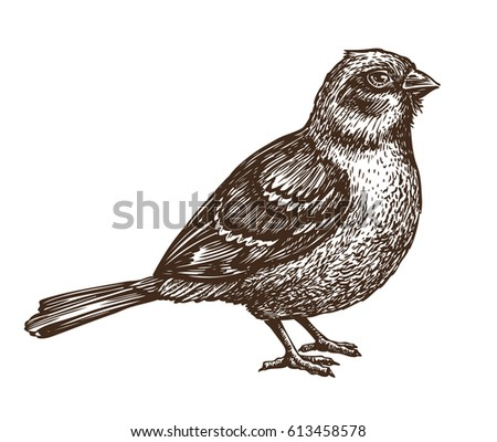 hand drawn sparrow bird